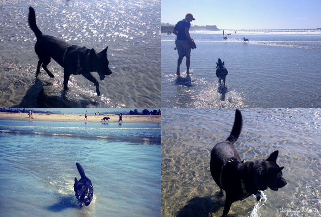 Onyx playing at Dog Beach, San Diego {the ponytail diaries}